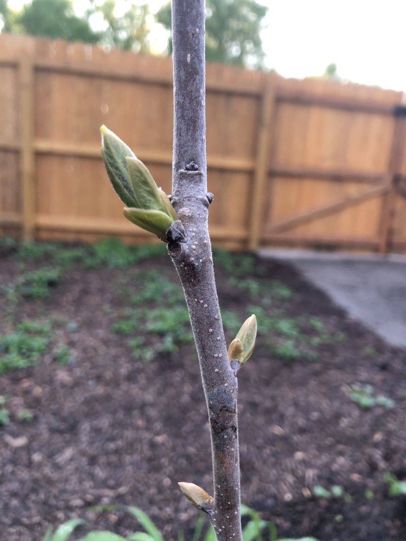 Persimmon buds