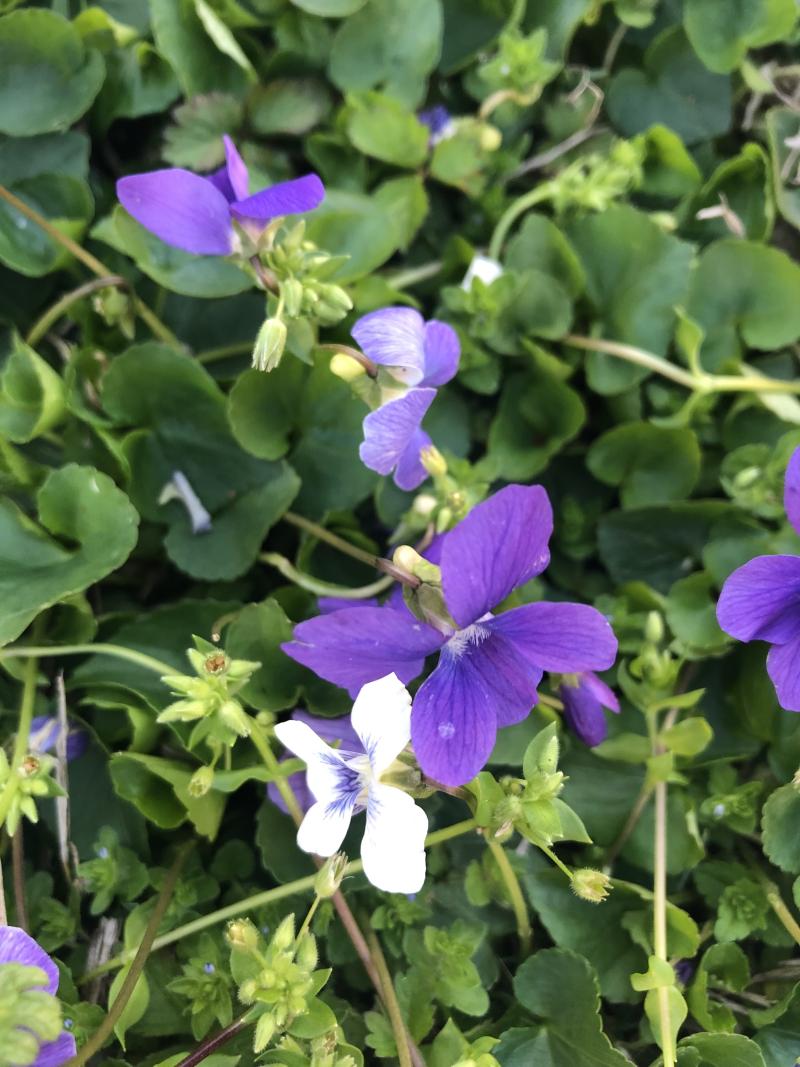 Violets_sp2019