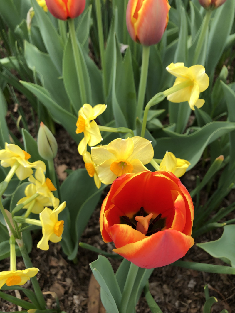Daff and red tulip