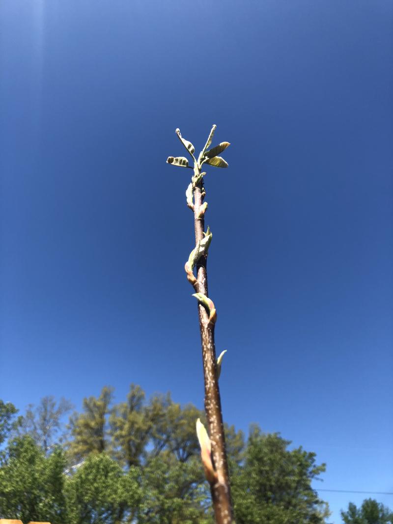 Serviceberry buds