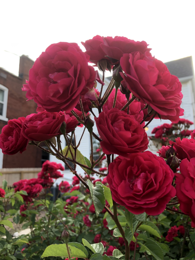 Rose_sp2019