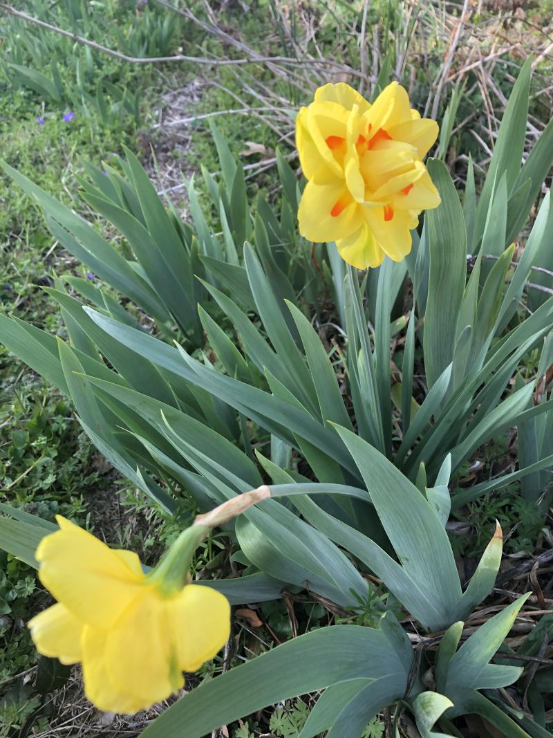 Daffodil2_sp2019