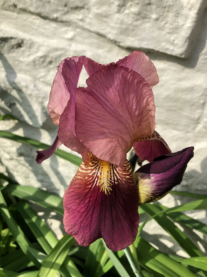 Wine_colored_iris_sp2019