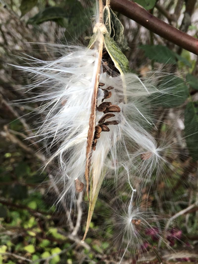 Milkweed Seed Pod 2019