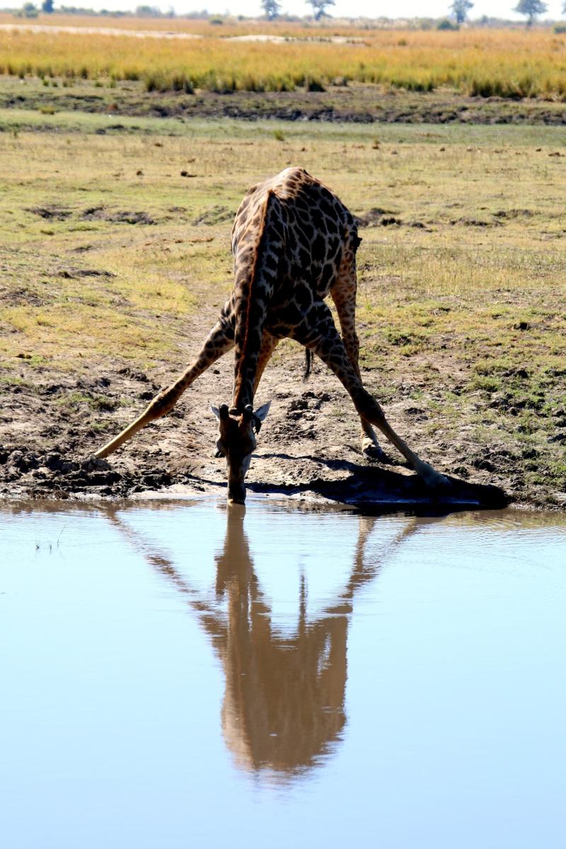 Giraffe-1364416_1920