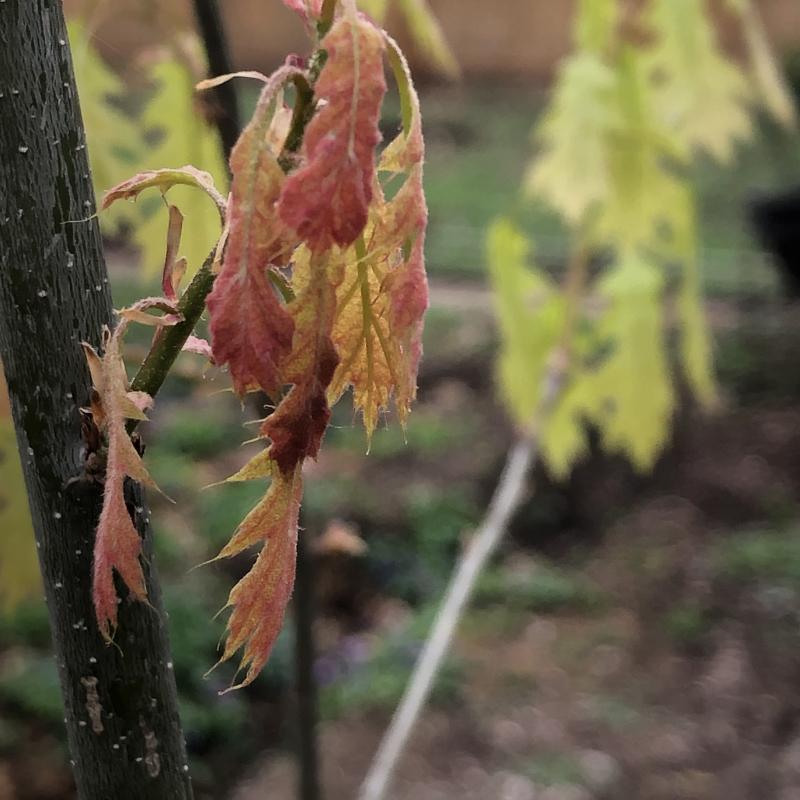 Shumard oak2