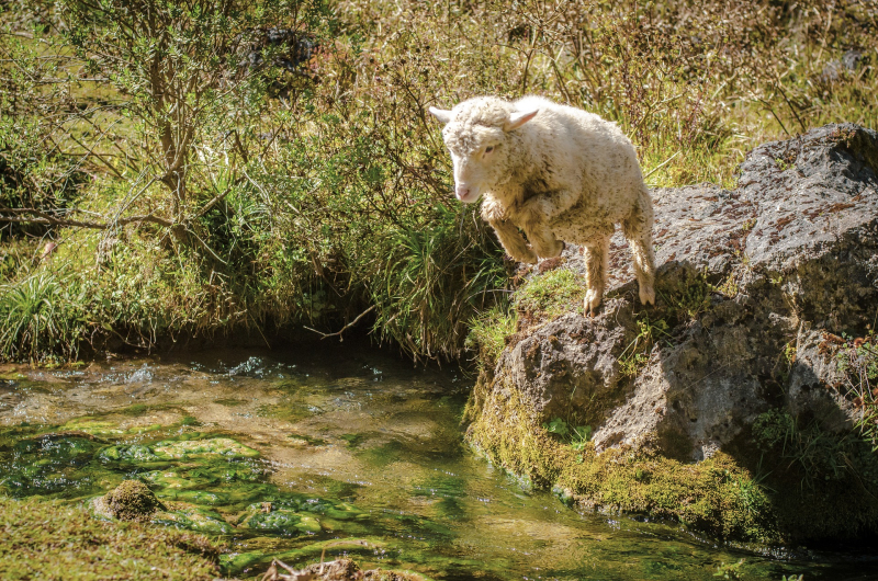 Sheep-4028444_1920