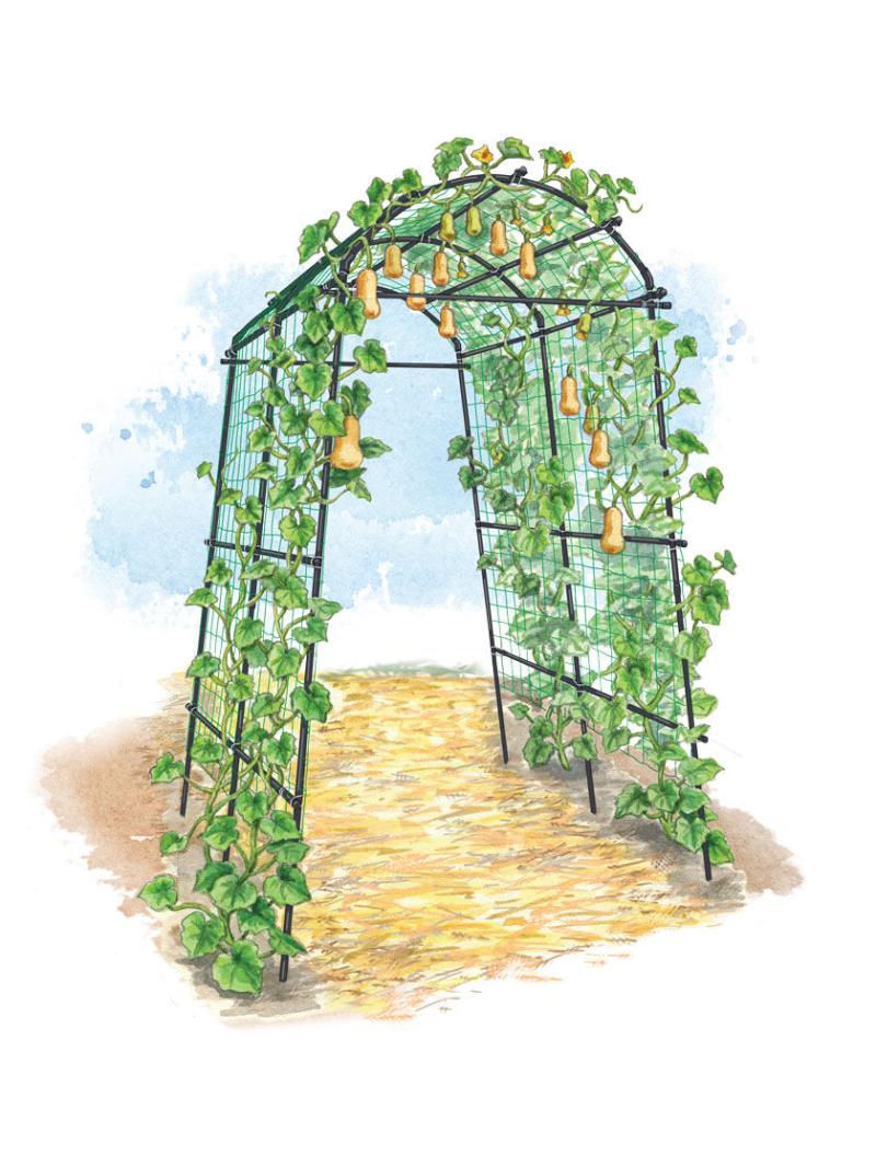 8596276_TitanSquashTunnel_art_titan-squash-tunnel-trellis-zucchini-butternut-acorn