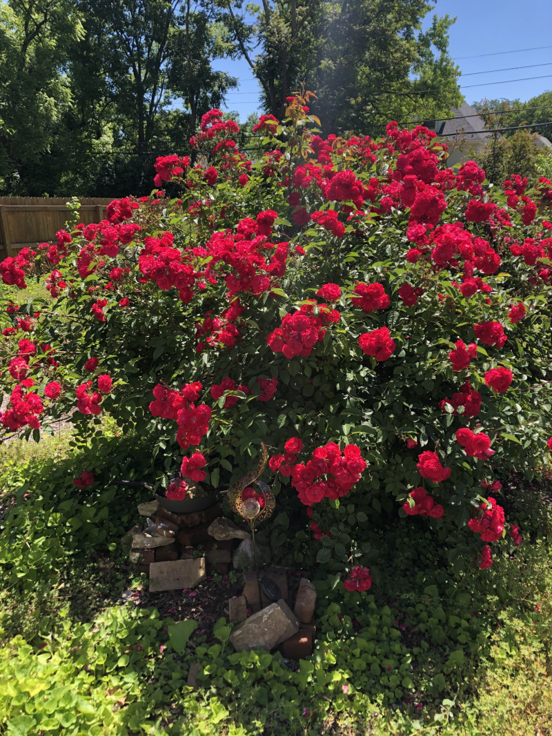 Knockout Rose Bush 2020