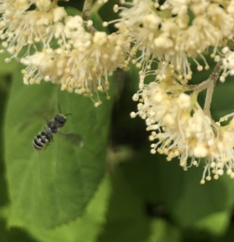 Bee on Wild Hydrangea