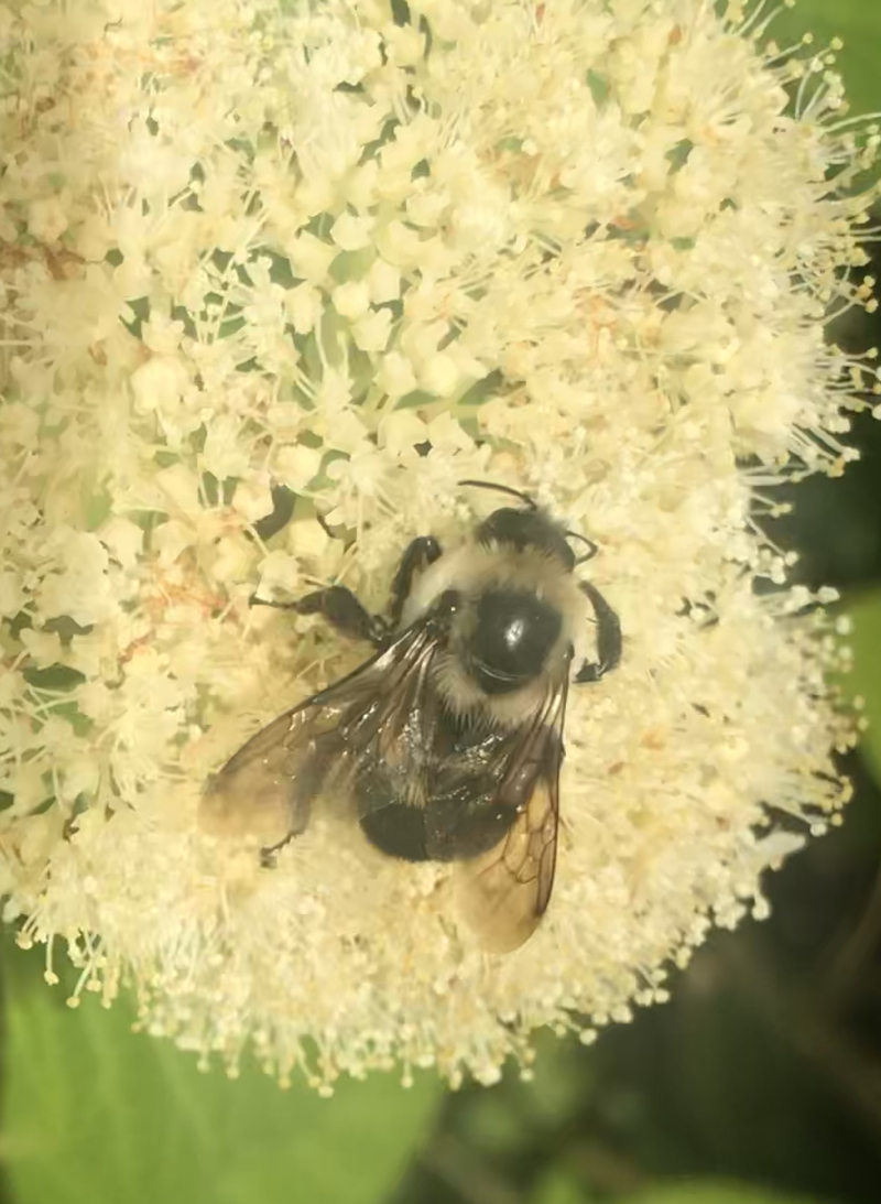 Brown-belted bumblebee