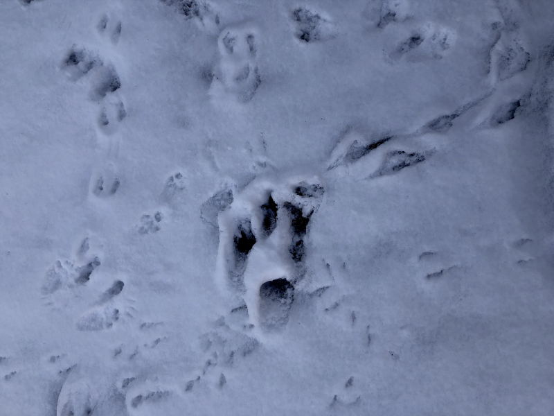 Critter tracks in snow.