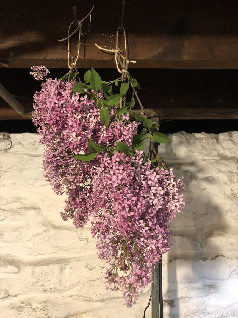 Harvested lilac