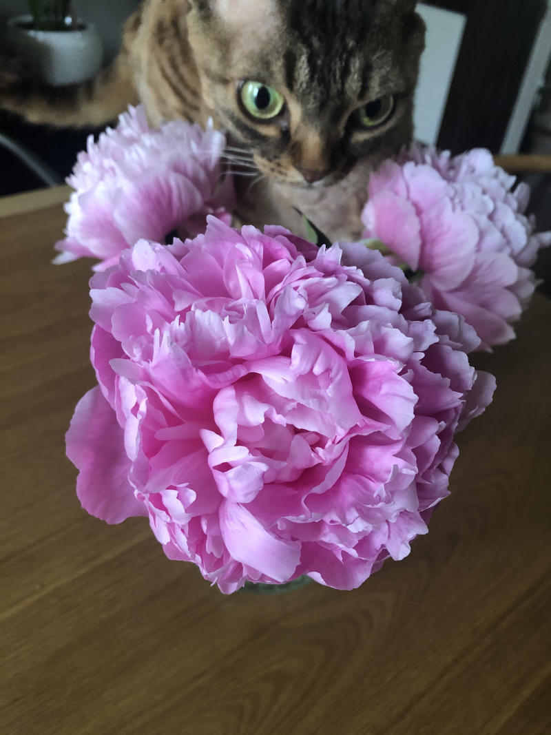 Peony with Chaco