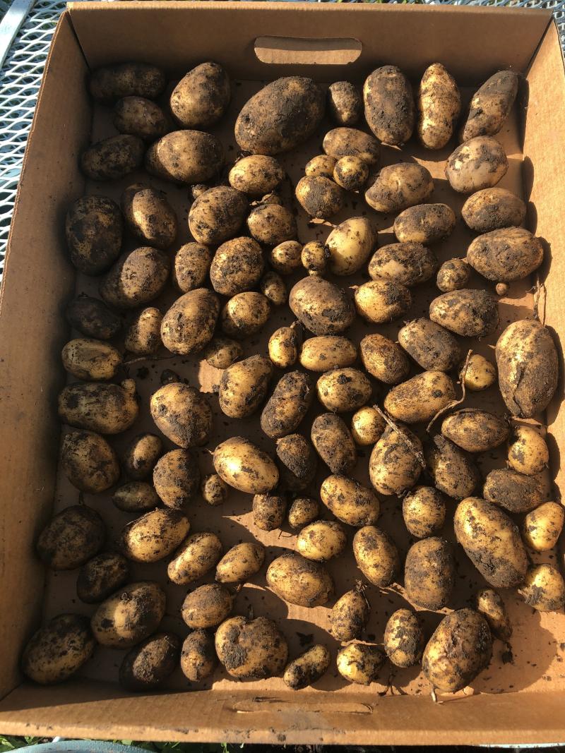 First Potato Harvest 2020