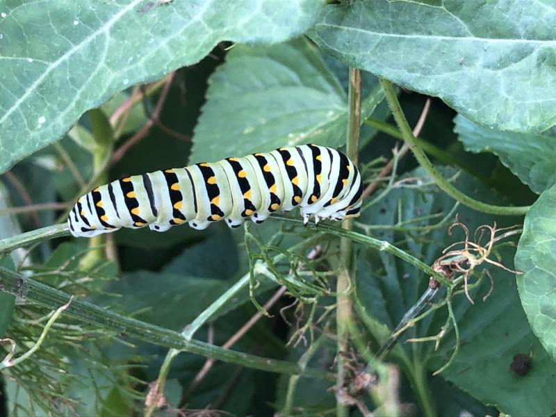 Black_Swallowtail