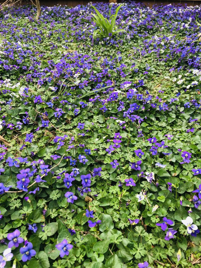 Violets in spring 2021