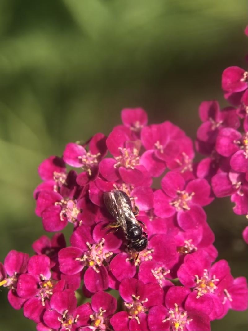 Small bee on yarrow