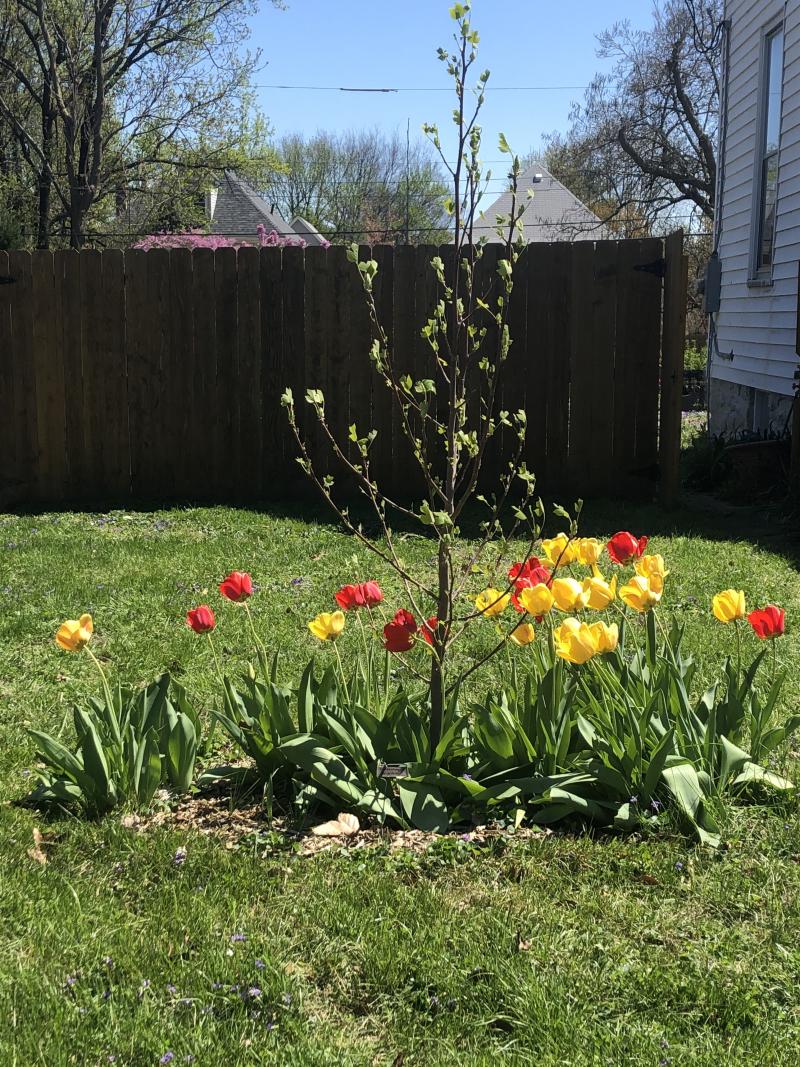 Tulip poplar in tulips