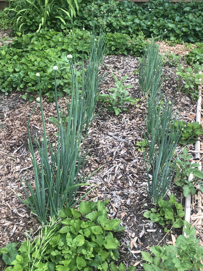 Potato onions flowering 21