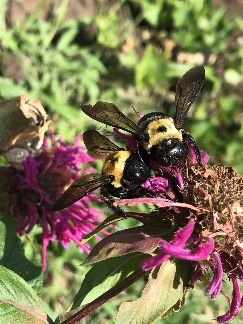 Bees on monarda