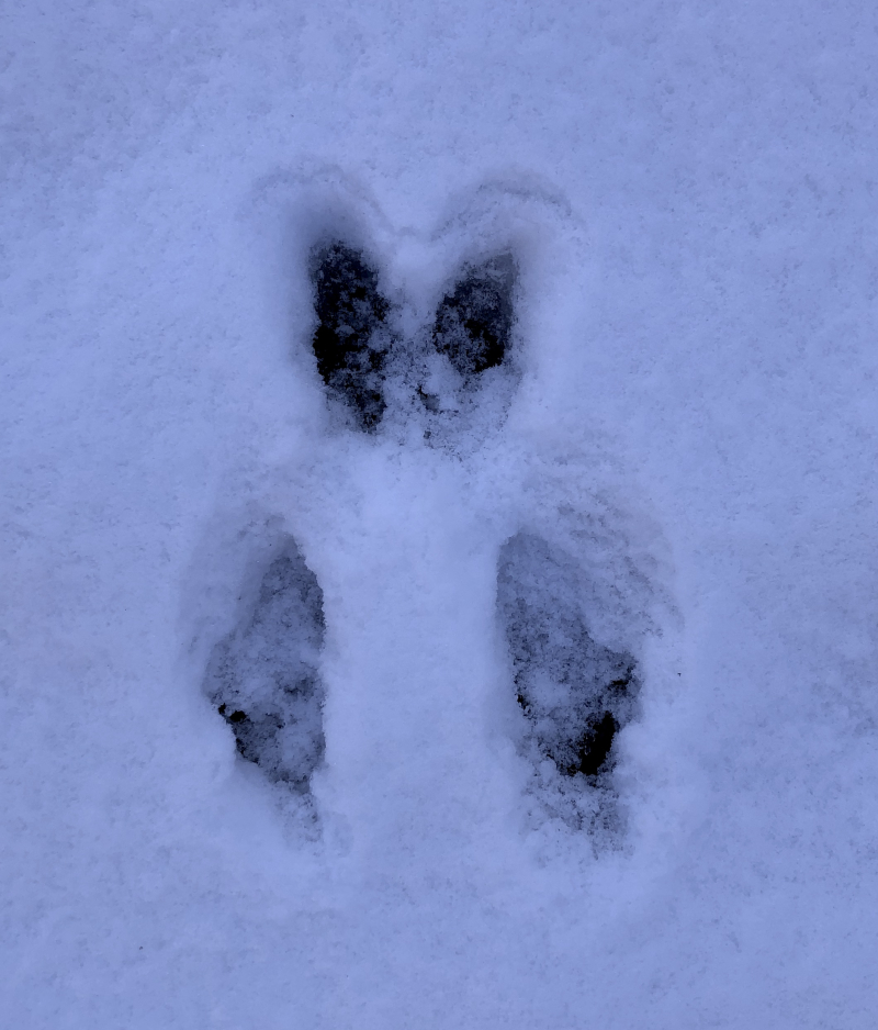 Rabbit tracks in snow.