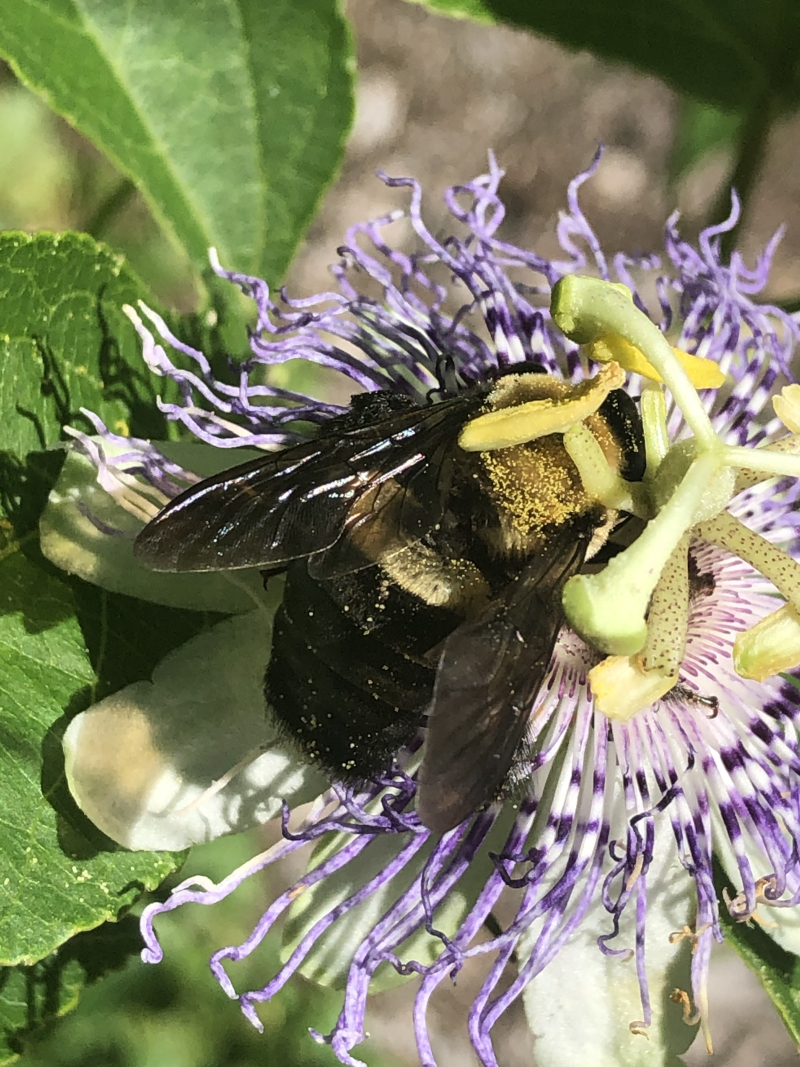 Eastern carpenter bee on passionflower