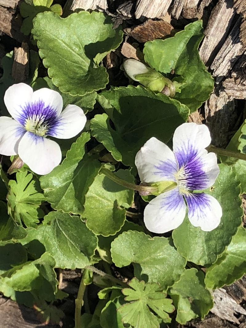 Viola sororia spring 21