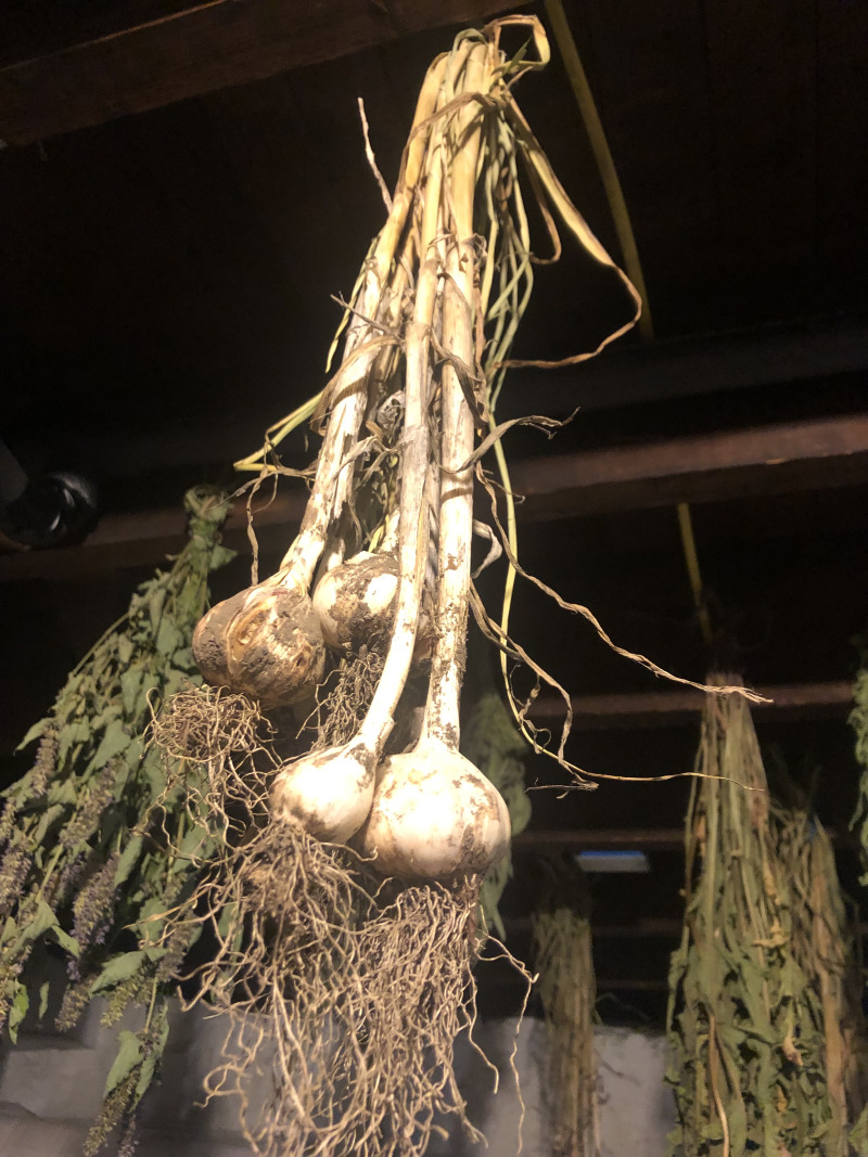 Garlic hanging 21